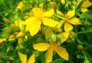 Lule Basani Me Vaj Ulliri – Si Te Përgatisni dhe Përdorni Kurën e Shendetit për 30 ditë